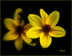 ALL BY MYSELF (brynmeillion - JAN) Tags: flower yellow petals flora bravo yellowflower frame picnik excellence blodyn melyn naturesfinest masterphotos nikond80 theunforgettablepictures blodynmelyn excellentsflowers thesuperbmasterpiece onlymenaloud