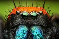 Adult Male Phidippus apacheanus (Mundo Poco) Tags: macro canon spider arachnid jumpingspider salticid mpe 65mm phidippus salticidae eos450d phidippusapacheanus rebelxsi