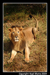 Lion (kapil bhatia) Tags: warning king wildlife jungle carnivorous wildcats wildanimals gujrat asiaticlion girnationalpar babbersher junglekaraja