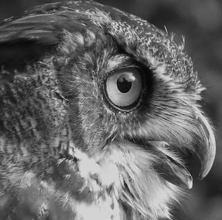 great horned owl in b&w