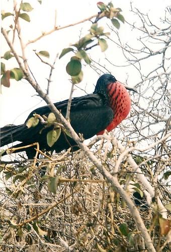 Galapagos-Seymour Nord (9)