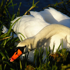 the eye........ (atsjebosma) Tags: november autumn sun macro bird eye beauty closeup swan herfst thenetherlands shades groningen 2009 zwaan zonneschijn herfstzon atsjebosma