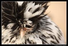 SUPER STAR (MAC CHICKEN) (Faisal.Mandani) Tags: haircut slr bird chicken birds canon hair feathers kuwait superstar faisal q8 450d mandani faisalmandani