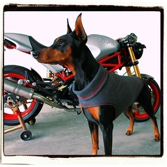 Senna Inspired Sweater (hoverfly) Tags: dog dogs giant sweater clothing coat large jacket doberman etsy custom ducati senna hoverfly dogsweater dogcoat aoe dogjacket iiwteam dobermansweater hoverflyetsycom dobermancoat dobermanjacket