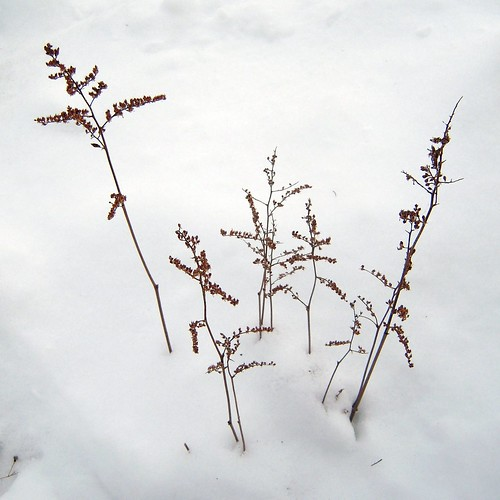 Astilbe in the snow