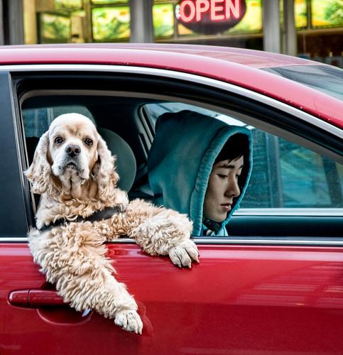 フリー画像| 動物写真| 哺乳類| イヌ科| 犬/イヌ| アメリカン・コッカー・スパニエル|      フリー素材|