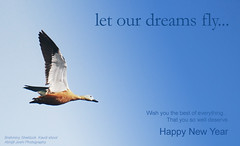 Happy New Year (Abhijit Joshi) Tags: india birds fly duck maharashtra pune happynewyear 2010 kavdi brahminyshelduck