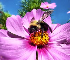 Bee Happy (` Toshio ') Tags: pink summer flower macro yellow closeup insect washingtondc dc washington wings close newyear bee stamen pollen tulipgarden toshio