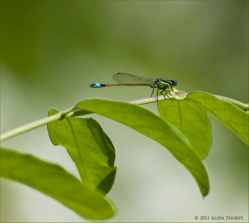 dragon fly by Alida's Photos