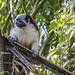 Geoffroy's tamarin monkey - wild titi monkeys gamboa panama pandemonio 2017 - 04