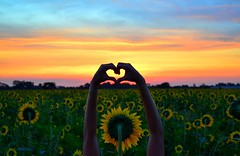 agriCOOLture with love (annibolotin1) Tags: portuguesa turen venezuela landscape sky colors rise valentines valentinesday lovely love hands heart d3100 nikon siembra flowers campo field agricultura agriculture sunflower sunflowers amanecer sunrise