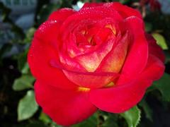 20160910_090733 (Tommy- N) Tags: natur blüten blumen rose morgentau