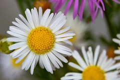 Sunny Side Up (Uncle Phooey) Tags: flower explore missouri wildflower ozarks daisyfleabane erigeronannuus unclephooey