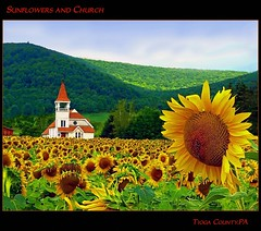 Field of Flowers (pinecreekartist) Tags: beautiful sunflowers chiaramonte pagrandcanyon wellsboropa specialtouch colorphotoaward colorsofthesoul photocontesttnc09 coth5 sailsevenseas pinecreekartist tiogacountypachiaramonte
