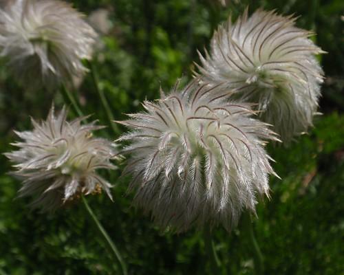 Western Pasque Flower Seedhead 03
