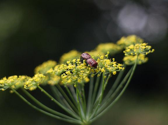 coriander love