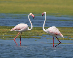 flamingo  (ammadoux) Tags: greater   flaminogs
