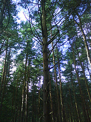 Trees (Pippa Kahn) Tags: woodland nottinghamshire clumberpark