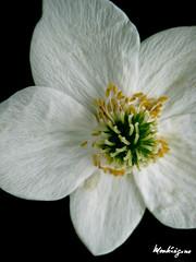 (monteregina) Tags: flowers white canada macro closeup fleurs petals details blumen stamens textures qubec blanc onblack ptales monteregina