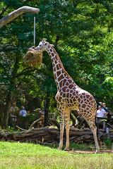 CD659 Giraffe (listentoreason) Tags: usa nature animal america canon mammal zoo illinois unitedstates favorites places brookfield giraffe ungulate animalia mammalia giraffa vertebrate brookfieldzoo giraffacamelopardalis chordate chordata artiodactyla giraffidae ef28135mmf3556isusm score30 chicagozoologicalpark