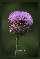 Thistle Crown (TT_MAC) Tags: flower nature garden thistle bloom victoriabc mimamorflowers distinctflowers beyondbokeh geshgreenearthsafehealthy newgoldenseal