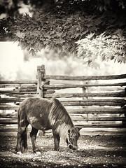 Dining under a maple tree (rh89) Tags: horse toronto tree island islands maple farm centre pony far enough blackwhitephotos