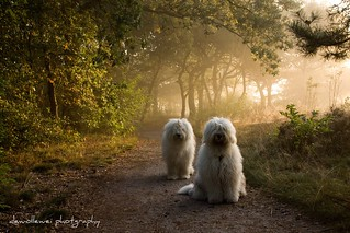 foggy morning dogs