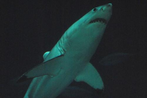 White shark at Monterey Bay Aquarium
