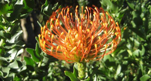 Maravillosa flor de Sudafrica