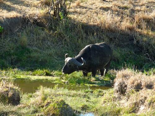 Water buffalo, Maasai Mara, Kenya
