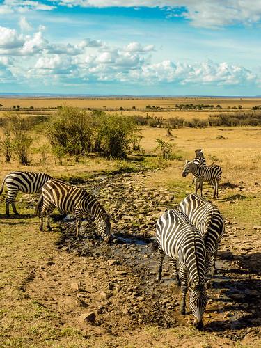 Zebras, Maasai Mara, Kenya