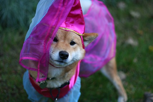 Who says shibas don't look good in pink?