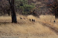 IMG_9783 (LANABUMP) Tags: africa botswana guineafowl mashatu