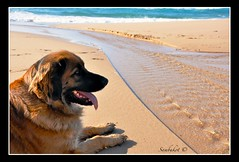 Lea (sambukot) Tags: sardegna sea dog water cane female mare leah acqua leonberger femmina nikond90 platinumpeaceaward sambukot