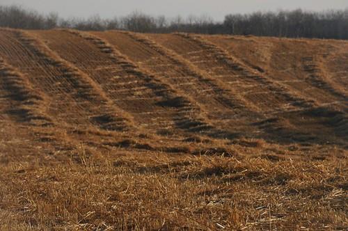 Cow tracks through the grain field