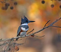 Kingfisher (asparks306) Tags: bravo ngc anawesomeshot avianexcellence blurb2 bestofmywinners magicunicornverybest magicunicornmasterpiece
