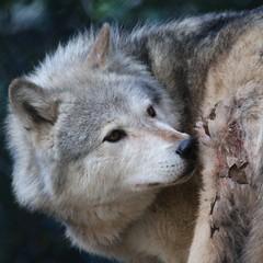 Wounded Wolf (Gary Wilson แกรี่ วิลสัน) Tags: ireland dublin nature animal canon photography eos grey zoo photo wolf foto wildlife gray canine 7d lobo lupus greywolf dublinzoo canid 100400l garywilson