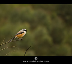 Long-tailed Shrike | Lanius schach (Neelakandan | www.neelakandan.com) Tags: wild india bird leaves forest canon stem branches birding kerala jungle munnar laniusschach longtailedshrike wildlifephotography idukki 40d canon40d neelakandan canon55250mm discoverplanet wwwneelakandancom