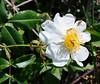 Evergreen Rose (Rosa sempervirens) (Tiggrx) Tags: wild white flower bush beetle shrub menorca minorca sonbou balearicislands rosaceae balearics evergreenrose rosasempervirens