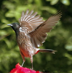 The red vented bulbul (TARIQ HAMEED SULEMANI) Tags: summer nature birds wheat harvest tariq redventedbulbul khanewal concordians sulemani jahanian thewonderfulworldofbirds