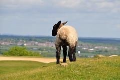 Keeping Watch (Hayley Wincott) Tags: nature sheep hill lamb beacon warwickshire burtondassethills