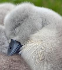 sweet dreams (ctberney) Tags: sleeping ontario canada sleepy swans naptime cygnets stratford avonriver