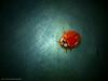 mariquita (Karina Diarte de Maidana) Tags: texture insect ladybug paraguay mariquita cyclonedasanguinea