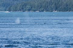 _MG_4766a (markbyzewski) Tags: alaska juneau ugly humpbackwhale