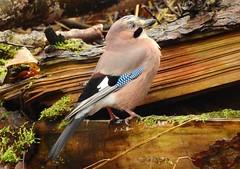 Jay (PhotoLoonie) Tags: jay bird wildbird wildlife nature britishwildlife britishbird ukbird