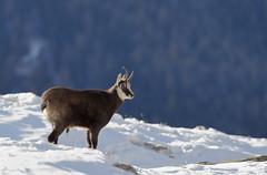Camosci2 (Lunghefocali.snc) Tags: camoscio rupicaprarupicapra dolomiti valdifiemme trentino altamontagna biancoenero wildlife nature