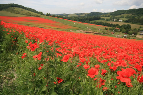 Three fields of poppies