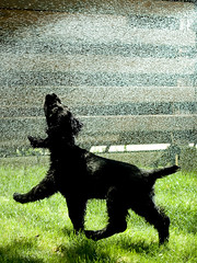 Dancing in the rain (tejchy) Tags: camera dog english ex water grass digital canon 50mm jumping dancing 14 drop spray spaniel cocker chasing 430 speedlite 40d gotty