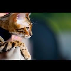 hellokitty (Marcin Sowa) Tags: hello cat nose eyes nikon dof bokeh hellokitty kitty 85mm leopard nikkor f18 d300 leopardcat