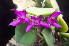 Meiracyllium trinasutum (dwittkower) Tags: orchid flower macro flora orchids orchidaceae species orquideas flowercloseup orchidée flowermacro macroflower orchidcloseup macroorchid orqudea